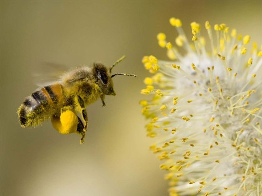 bee-collecting-pollen-600h