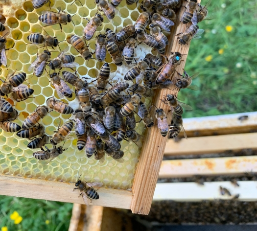 Bucks Bees Queen Marked Blue